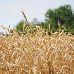 Pomurski policisti obravnavali tatvino pšenice
